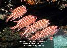 Squirrelfish & Soldierfish